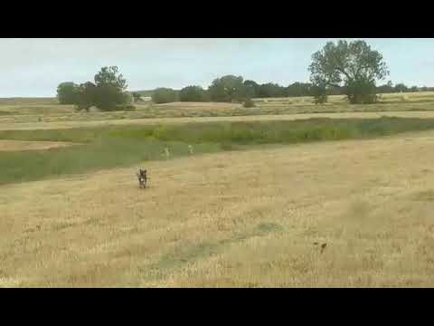 Blue heeler dog vs two coyotes