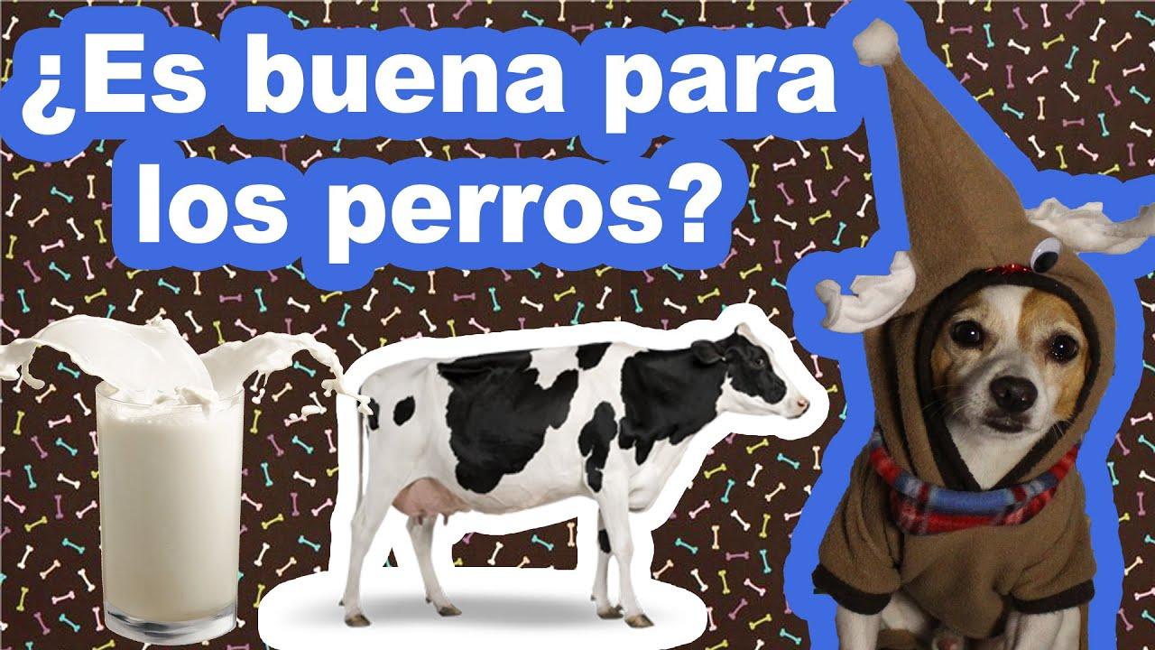 leche en los perros: