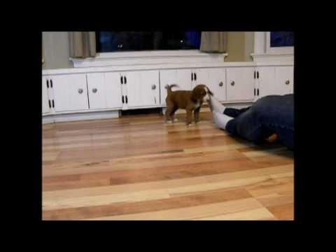 SnowSweet - Irish Doodle Puppy