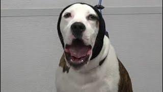 American Bulldog sings me his national anthem