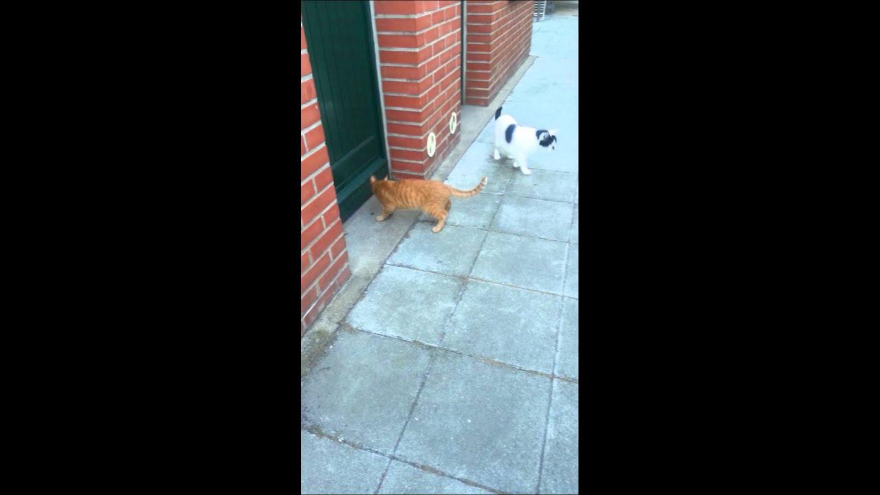 Shooter, petit chat ataxique fait ses exercices de marche ...