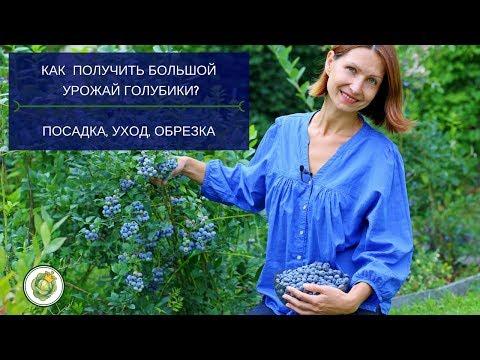 Все секреты выращивания голубики садовой. Мой опыт и практические советы / Blueberry