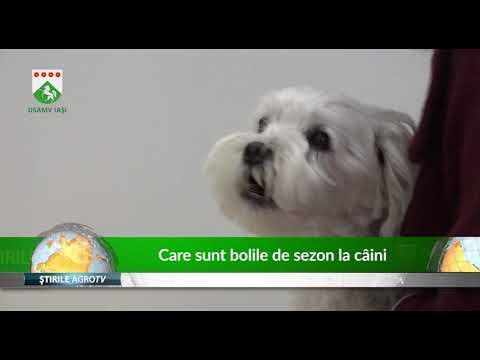 Cum se tratează bolile prostatei la câinii masculi intacti