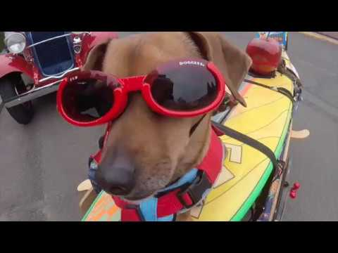 Celebrate your inner surf dog - with doxie Doodle of Surf Dog Diaries