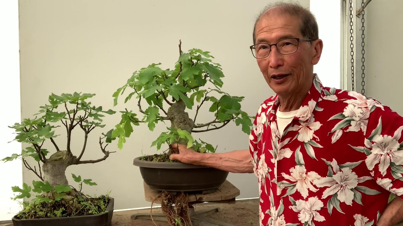 Edible Fig as Bonsai