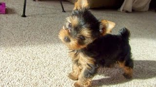 HUGE puppy haul! Yorkie thumbnail