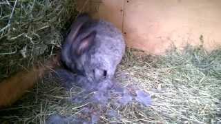 кролик снимает свой шерсть