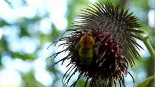 Bumblebee Nectaring トラマルハナバチ♀がオヤマボクチの花で採餌