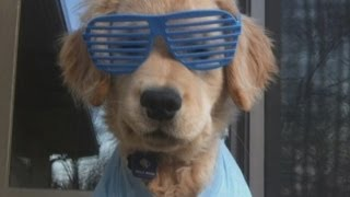 Is This The World's Cutest Dog? Blind Golden Retriever Puppy Ray Charles Becomes Online Star