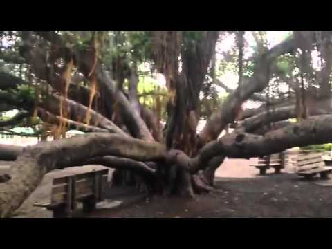 Banyan tree Hawaii