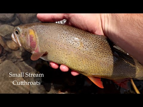 Wyoming Cutthroat Trout Extravaganza