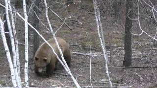 Monster blonde phase black bear shot in northern Saskatchewan.