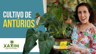 ANTÚRIOS: Transplante e Dicas de Cultivo