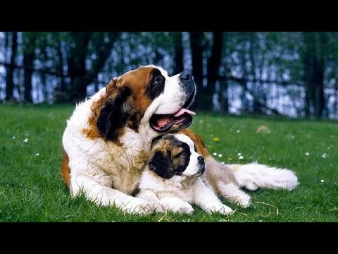My Saint Bernard | Look like Teddy Bear | Cute Face | Cute Puppy | Cute Pet | Funny Pets |