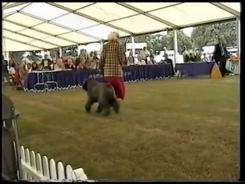 bernese-mountain-dog-wins-the-working-group-at-bournemouth-championship-dog-show-2001