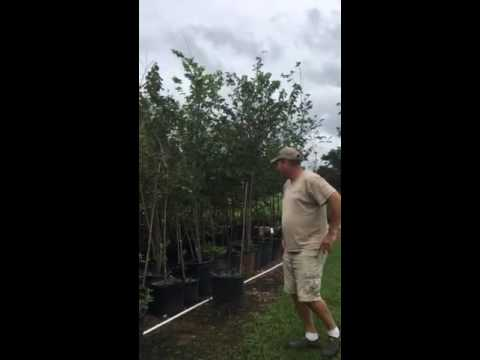 Buds and Bark bald cypress and American elm