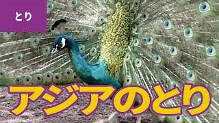 鳥のなかま(5)アジアの鳥:インドクジャク/シロクジャク/キンケイ/クジャクバト/オウギバト