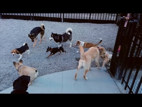 Rylee and other dogs playing at Emery Barnes Park in Yaletown, Vancouver