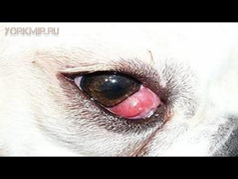 Болят глаза у собаки причины лечение