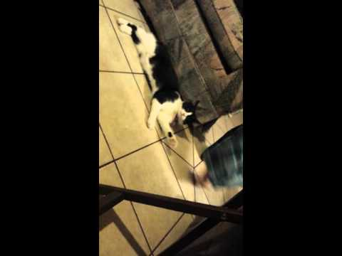Cat jumps for joy, when she sees her favorite toy