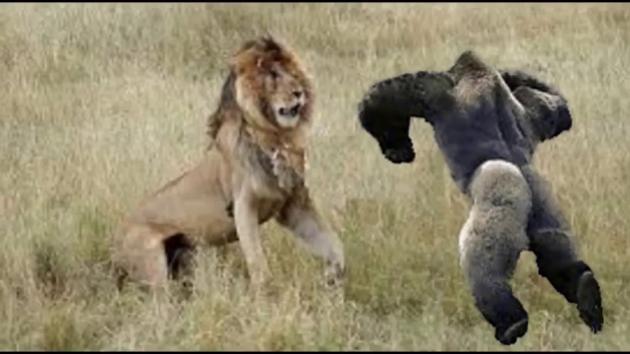 lion wild animal attack attacks camera caught amazing hd fights most animais selvagens