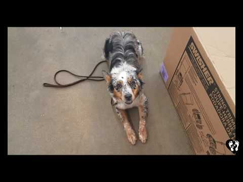 Houston dog training | 9 month old Australian Shepherd Macie learning off leash obedience