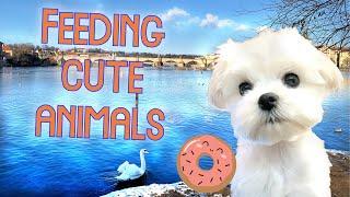Feeding animals in Prague with cute Maltese puppy  Five months old dog