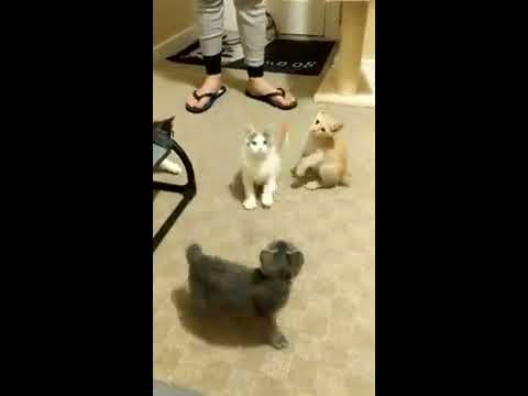 Japanese Bobtail Kittens ~ Exploring the Cat Tree!