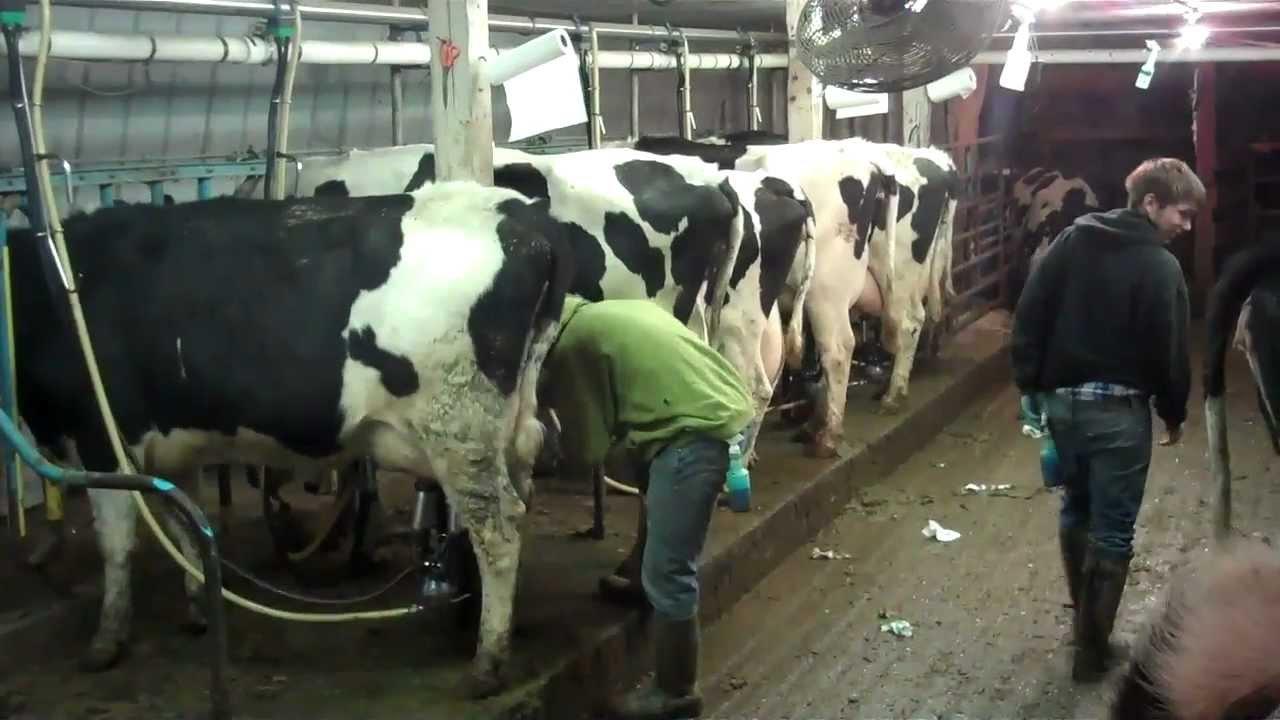 Last Milking In Old Barn