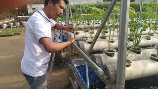 Budidaya hidroganik Tomat tumpang sari bawang merah umur 16 hari  ( bagian ke 2 )