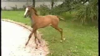 CA - Cerebellar Abiotrophy - affected arabian horse filly