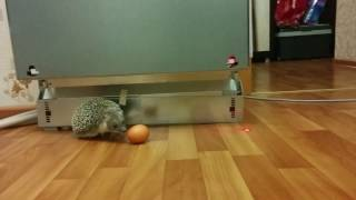 Еж куриное яйцо. прикол. милые ежики.Очень Смешное видео - ушастый еж и яйцо.