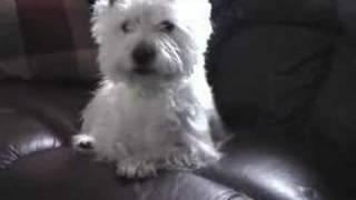 Westie Yawns On Command