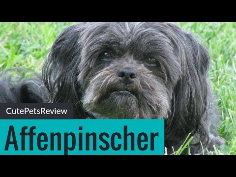 Affenpinscher 2018 Cute Pets Review & Information | Dogs Review