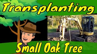 Transplanting Small Oak Tree
