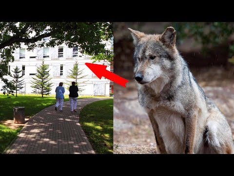 A wolf came to a city hospital. What for? It is hard to believe