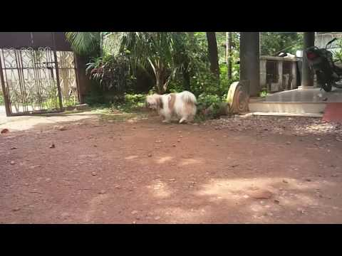 Lhasa apso slow motion video