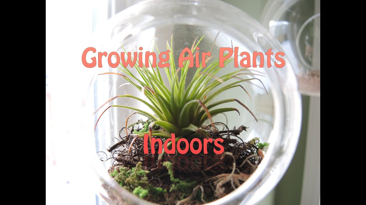 growing air plants indoors update youtube. Black Bedroom Furniture Sets. Home Design Ideas