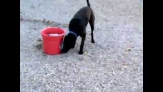 Tyson--black Labrador Retriever Mix