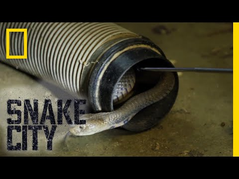 Thumbnail: The Dangers of the Mozambique Spitting Cobra | Snake City