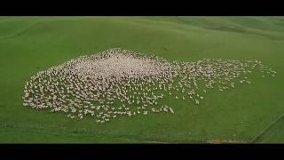 Как собаки-пастухи управляют стадом овец: взгляд с высоты птичьего полета