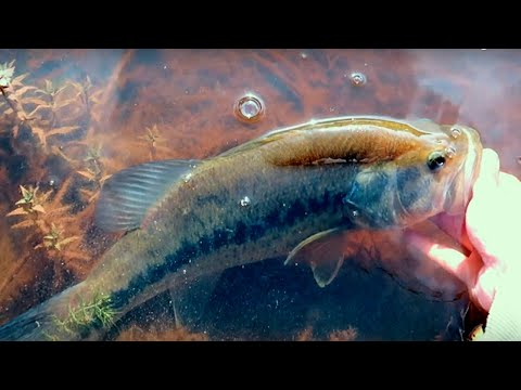 big-bass-in-vancouver:-fishing-finesse-worms-for-largemouth-bass!