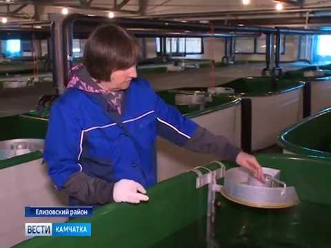 Вести-Камчатка: Выпуск мальков рыбы на Малкинском заводе