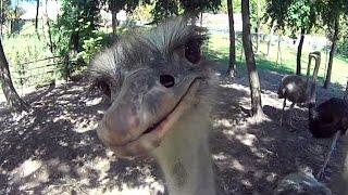 прикол - смешной страус и экшн камера - ostrich & action cam(Прикрепив экшн камеру к моноподу, я решил заснять страуса крупным планом, и вот какая получилась реакция..., 2014-10-13T05:00:01.000Z)