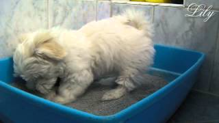 lily - puppy litter box training