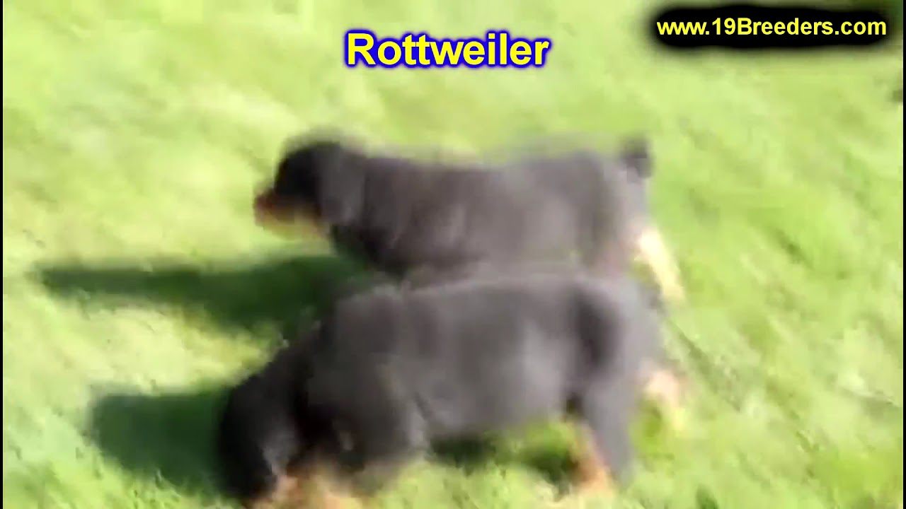 Rottweiler, Puppies, Dogs, For Sale, In Charleston, West ...