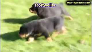 Rottweiler, Puppies, For, Sale, In, Weirton, West Virginia, Wv, Kanawha, Monongalia, Cabell, Wood, R