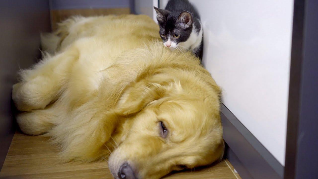 保護野良子猫の心の傷を治して上げたゴールデンレトリバー