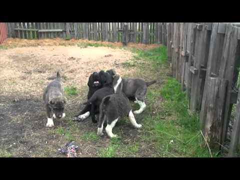 Кормление щенка азиатской овчарки, или как ест мой Сакар. - YouTube