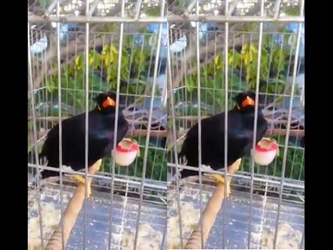 Chim yểng Biết nói Tiếng Người Nghe Rất Hay